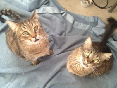 Bengal & Maine Coon Mix Archives - South Paws Rescue